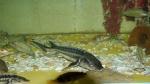 осетр в аквариуме Батискаф