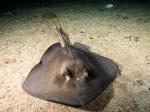 скат-хвостокол в аквариуме Батискаф