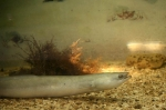 угорь в аквариуме Батискаф