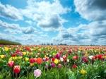тюльпаны в природе