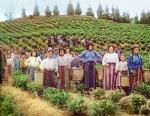 чайные плантации Чакви
