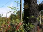 вековой дуб в парке Нивки