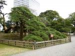 300-летняя сосна в парке Хамарикю