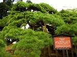 300-летняя сосна куромацу в парке Хамарикю