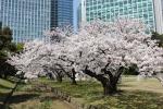 весна в парке Хамарикю
