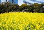 цветение в парке Хамарикю весной