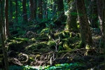 лес Аокигахара Дзюкай