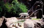 белый тигр в Лоро-парке