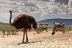 африканские страусы в Парке Антилоп