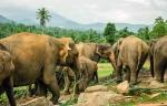 слоновий питомник Пиннавела, Шри-Ланка