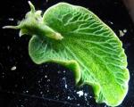 слизень Elysia chlorotica