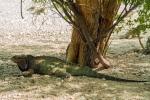 игуана-носорог