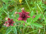 цвет сабельника болотного