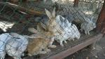 кролики в мини-зоопарке Зубровник