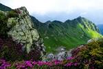 цветущий рододендрон в Мармаросах