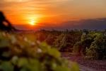 виноградник Завода классических вин, Одесса