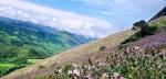 цветение курунджи в нацпарке Эравикулам