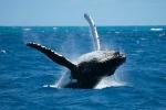 горбатые киты в Самане
