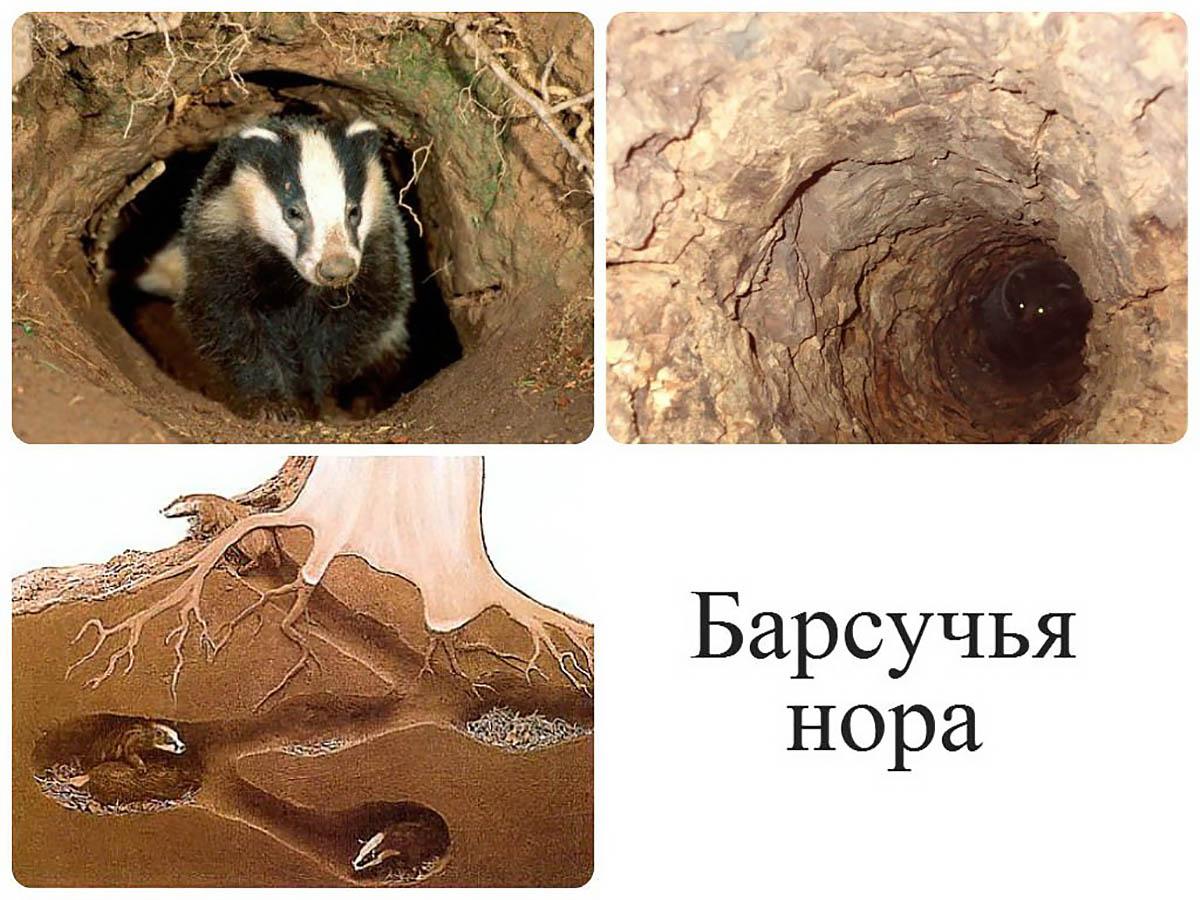 Барсук – животное, которое очень любит свое жилище (ч.2/3)