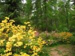 цветение рододендрона в Арборетуме Мустила