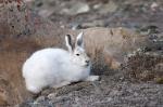 полярный заяц в нацпарке Куттинирпаак