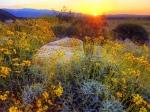Цветущая пустыня Анза Боррего, штат Калифорния