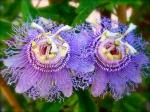 страстоцветы