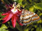 бабочка на пассифлоре