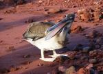 коричневый пеликан на Темно-красном пляже Рабиды