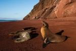морские львы на Темно-красном пляже Рабиды