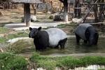 тапиры в зоопарке Као Кео