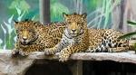 кошачьи в зоопарке Као Кео