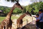 жирафы в зоопарке Као Кео