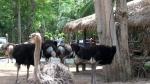страусы в зоопарке Као Кео