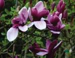 Магнолия liliiflora Nigra