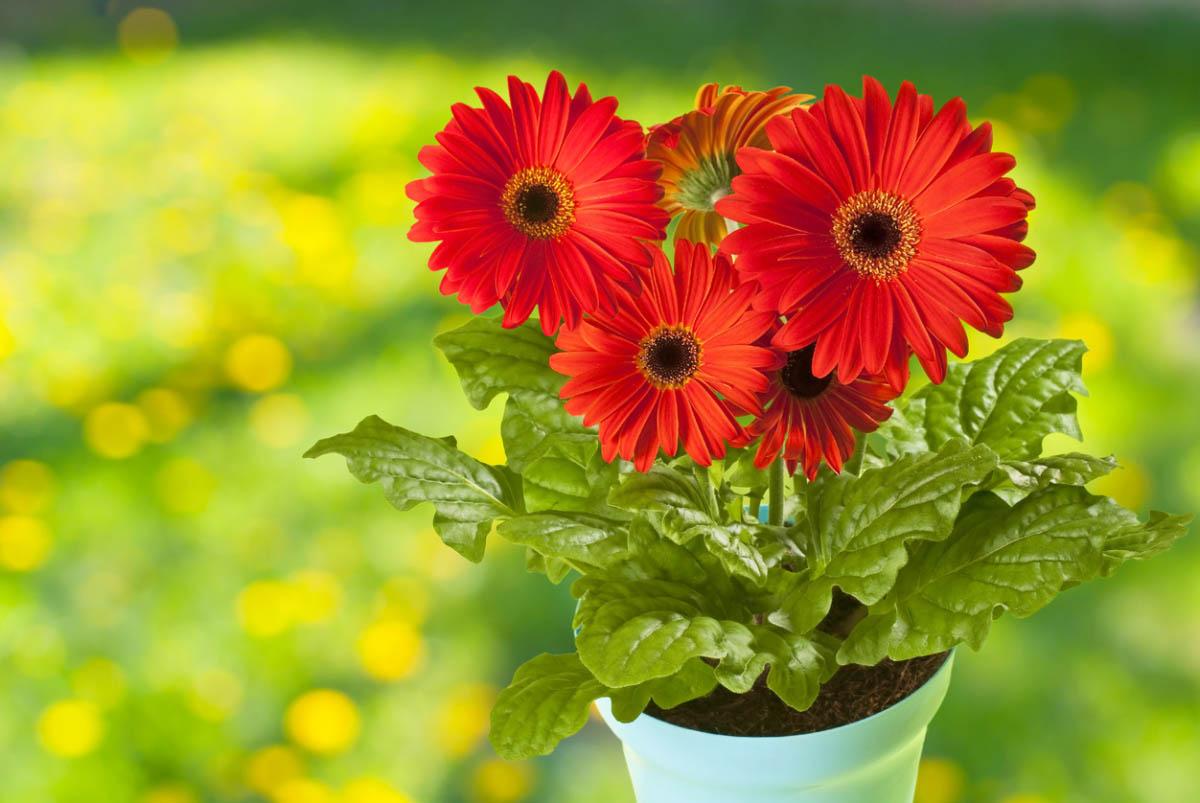 Гербера – красивоцветущее растение