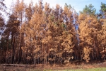 Рыжий лес, Украина