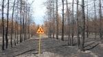 Рыжий лес в Чернобыле, Украина