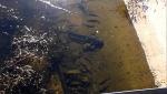 сомы в Пруду-охладителе