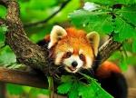 эндемик красная панда, Нацпарк Тхрумшинг