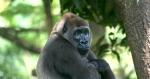 горилла в Нацпарке Такаманда