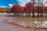 Роща болотных кипарисов
