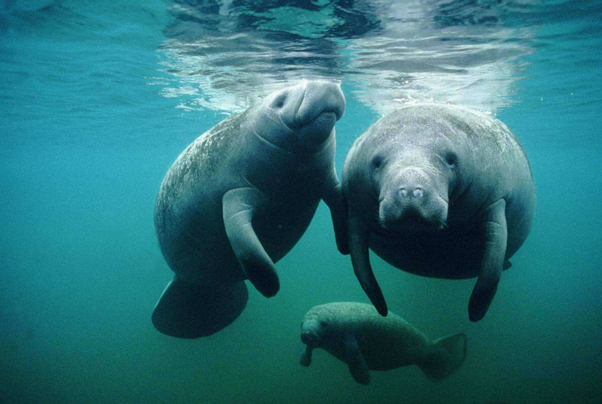 Дюгони или морские коровы – обитатели Индийского океана, переставшие выходить на сушу
