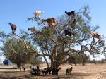 аргановые козы в Эссуэйре