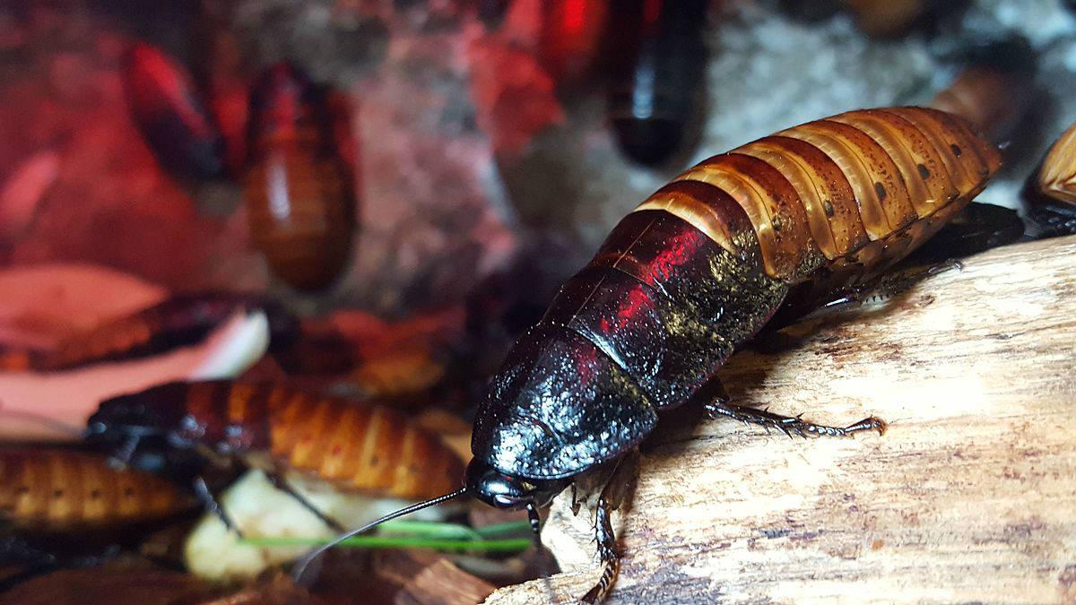 Мадагаскарские шипящие тараканы – самые большие тараканы в мире
