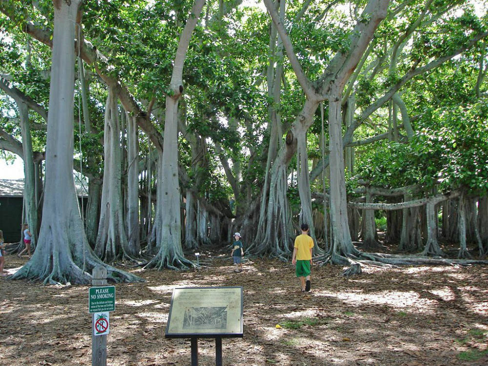 Фикусы – тропические растения с толстыми листьями