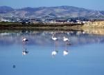 фламинго у берегов Ларнаки
