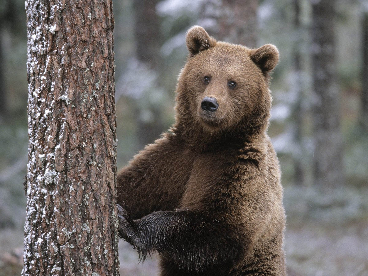 Медведь-шатун – опасный таежный обитатель