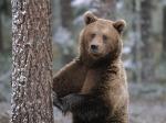 медведь-шатун
