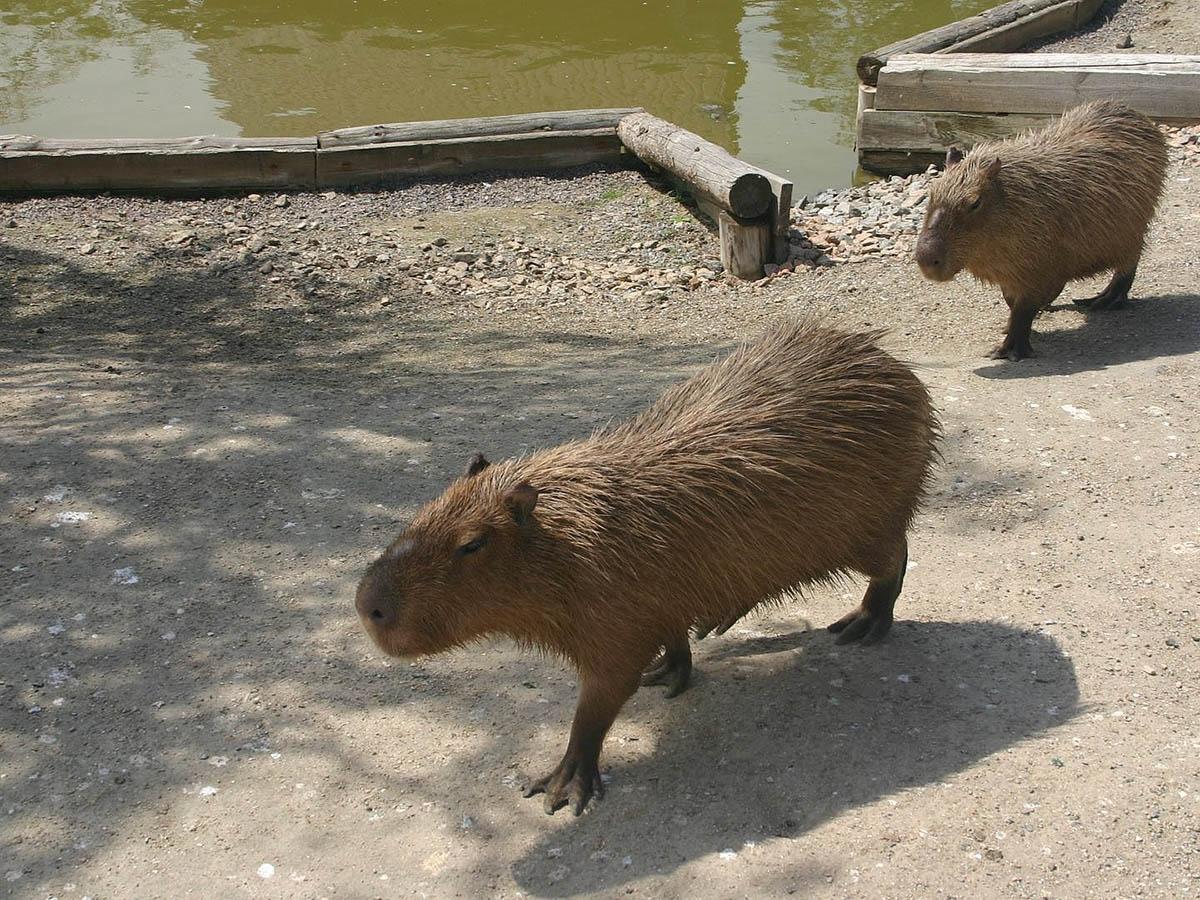 Капибара – самый крупный и добродушный грызун на планете